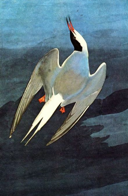 Audubon, John James: Arctic Tern. Ornithology Fine Art Print/Poster. Sizes: A4/A3/A2/A1 (00662)